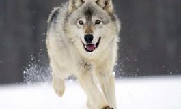 На Тернопільщині лісники попереджають про зграю вовків